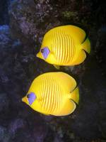 Pair of Yellow Butterflyfish