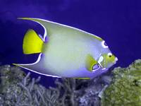 Queen Angelfish From Side