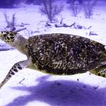 """Swimming Hawksbill Turtle"" by Serena"
