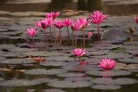 Early Morning Water Lillies at Angkor Wat