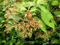Red Finch with Flowers