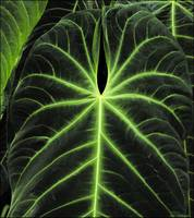 Dark Green Anthurium Leaf
