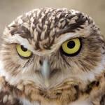 """""""Burrowing Owl"""" by Gaschwald"""