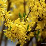 """Forsythia Spring"" by PhotographsByCarolFAustin"