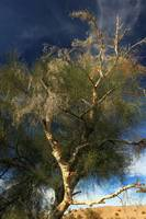 Colorado River Tamarisk