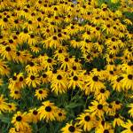 """Field of Black Eyed Susans"" by LjTaft"