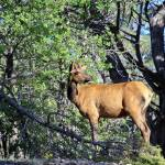 """Grand Canyon Elk"" by Lorraine_Sommer"