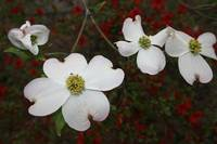 A Few More Dogwoods