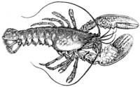 Vintage Lobster Drawing