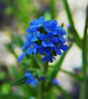 Myosotis scorpioides Water True Forget me not