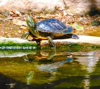 Red Ear Slider Turtle and reflection