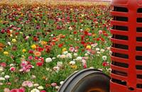 floweres and red tractor