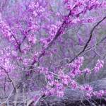 """Red Bud Trees"" by WildAboutNaturePhotography"