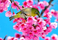 Bird on Sakura