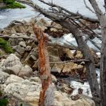 """""""Carmel Driftwood"""" by cornpics"""