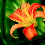 """Orange Daylily"" by PhotographsByCarolFAustin"