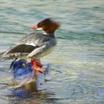 """""""Duck Common Merganser Female"""" by vpicks"""