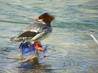 Duck Common Merganser Female