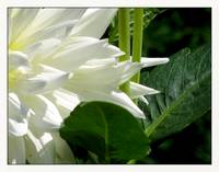 White Petals of Dahlia Perennial Flower
