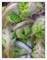 Fern Plant Fiddlehead Family