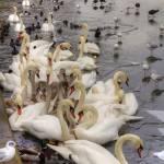 """Swan Lake"" by TomGomez"