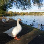 """Geese at Linlithgow Loch"" by TomGomez"