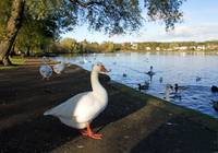 Geese at Linlithgow Loch