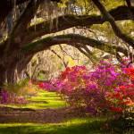 """Charleston SC Magnolia Plantation Gardens - Memory"" by DAPhoto"