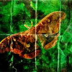 """Prometheus Moth"" by HWP"
