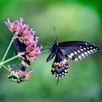Butterfly  Black Swallowtail  Square