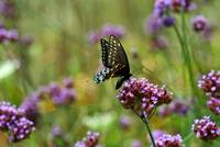 Butterfly  Black Swallowtail in field