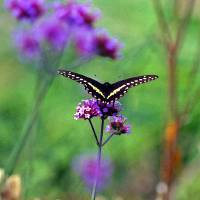 """Butterfly  Black Swallowtail"" by Karen Adams"