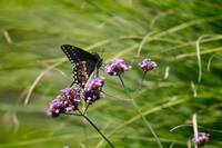 Butterfly  Black Swallowtail