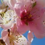 """Peach Blossom Flower Photography"" by vpicks"