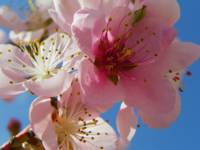 Peach Blossom Flower Photography