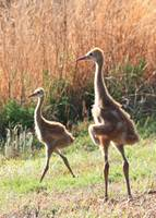 Juvenile Sandhill Siblings