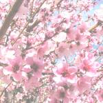 """Peach blossoms"" by 2cats2"