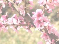 More peach blossoms