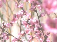 Even more peach blossoms