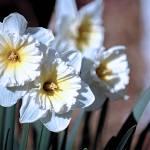 """Daffodils Flowers"" by byStangz"