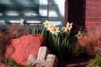 Flowers, Early Daffodil Blooms