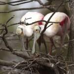 """Nesting Spoonbills"" by charlottelembo"