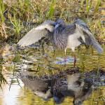 """Blue Heron Reflection"" by charlottelembo"
