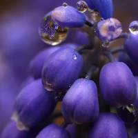 Grape Hyacinth Art Prints & Posters by Charlotte Lembo