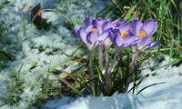 The Crocus