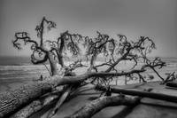 Fallen Tree on Beach | Black and White Landscape