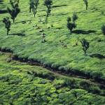 """Tea Harvest in Tamil Nadu"" by JonathanKingston"