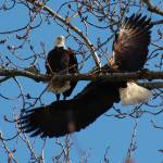 """Bald Eagles"" by TaraEllisPhotography"