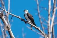 Osprey Bird Pandion Haliaetus