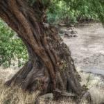 """Koa Tree"" by DanielLarsen"